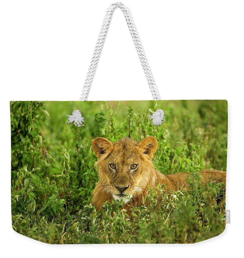 Grass Weekender Tote Bag featuring the photograph Lion, Ngorongoro Conservation Area by Paul Souders
