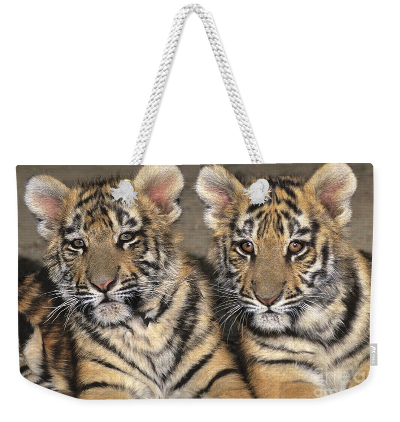 Bengal Tigers Weekender Tote Bag featuring the photograph Little Angels Bengal Tigers Endangered Wildlife Rescue by Dave Welling