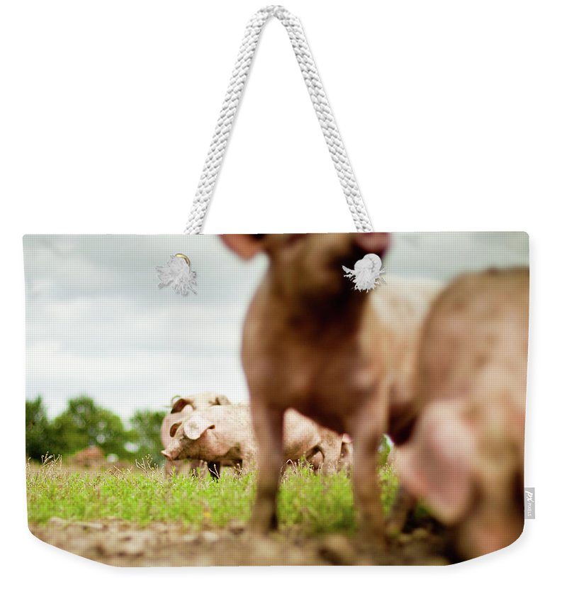 Pig Weekender Tote Bag featuring the photograph Little Pigs by Emmanuelle Brisson