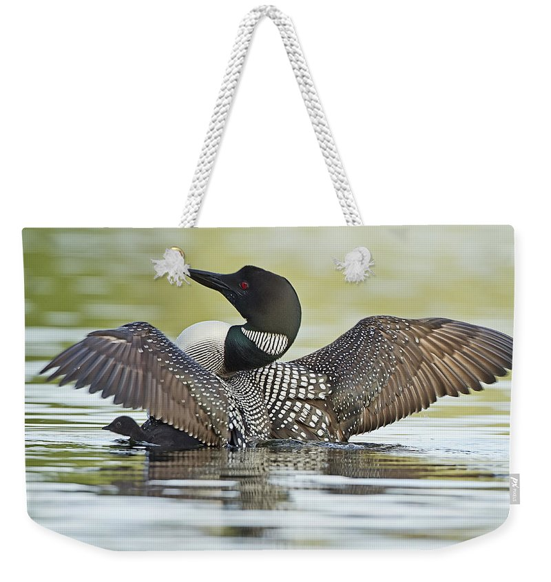 Common Loon Weekender Tote Bag featuring the photograph Loon Wing Spread With Chick by John Vose