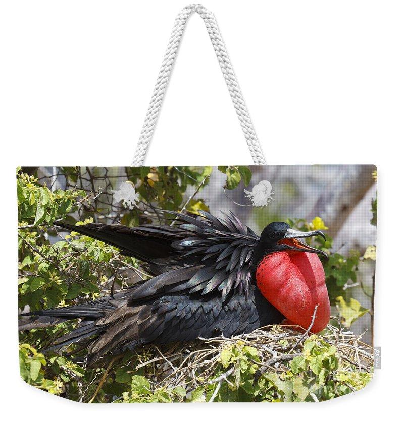 Magnificent Frigatebird Weekender Tote Bag featuring the photograph Magnificent Frigatebird Galapagos by Jason O Watson