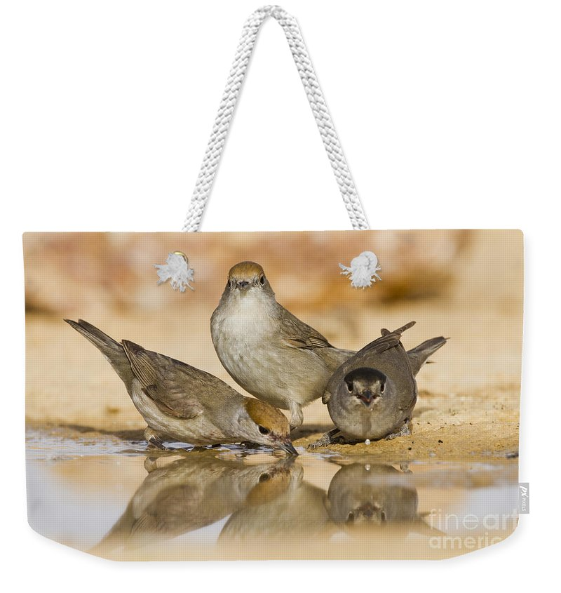 Blackcap Weekender Tote Bag featuring the photograph Male And Female Eurasian Blackcaps by Eyal Bartov