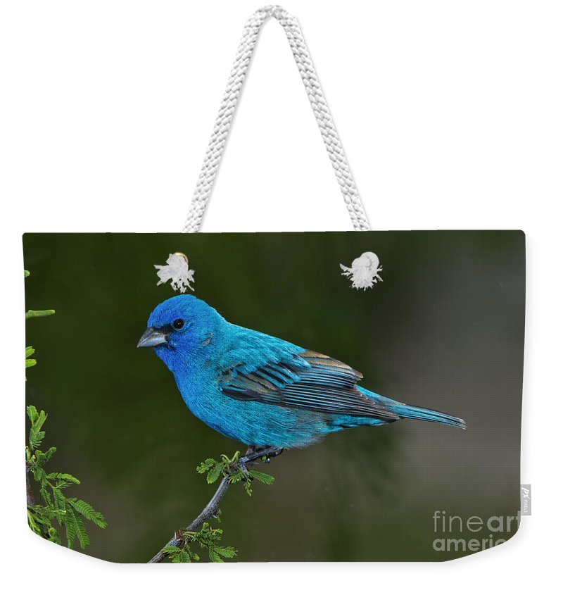 Indigo Bunting Weekender Tote Bag featuring the photograph Male Indigo Bunting by Anthony Mercieca