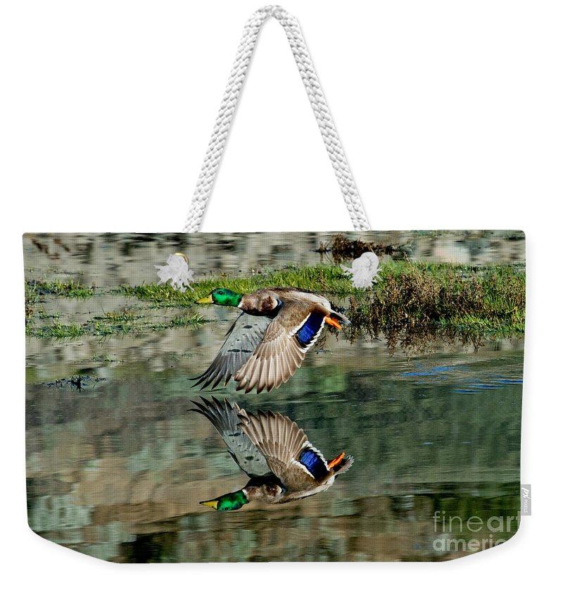 Mallard Duck Weekender Tote Bag featuring the photograph Mallard Drake Takes Off by Anthony Mercieca