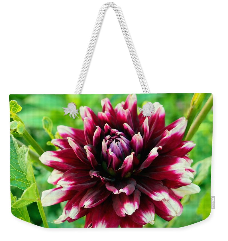 Nature Weekender Tote Bag featuring the photograph Maroon And White Dahlia Flower In The Garden by Amy McDaniel
