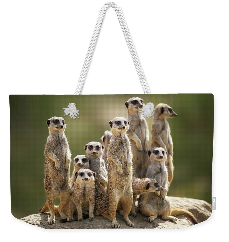Scenics Weekender Tote Bag featuring the photograph Meerkat Family On Lookout by Kristianbell