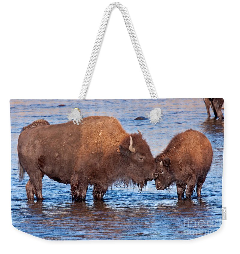 Autumn Weekender Tote Bag featuring the photograph Mother And Calf Bison In The Lamar River In Yellowstone National Park by Fred Stearns