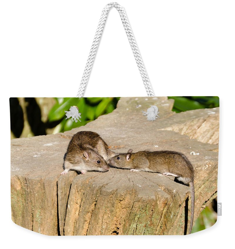 Animal Weekender Tote Bag featuring the photograph Mother Rat With Youngster by David Head