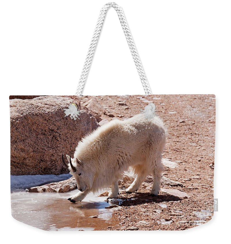 Arapaho National Forest Weekender Tote Bag featuring the photograph Mountain Goat Breaking Ice On Mount Evans by Fred Stearns