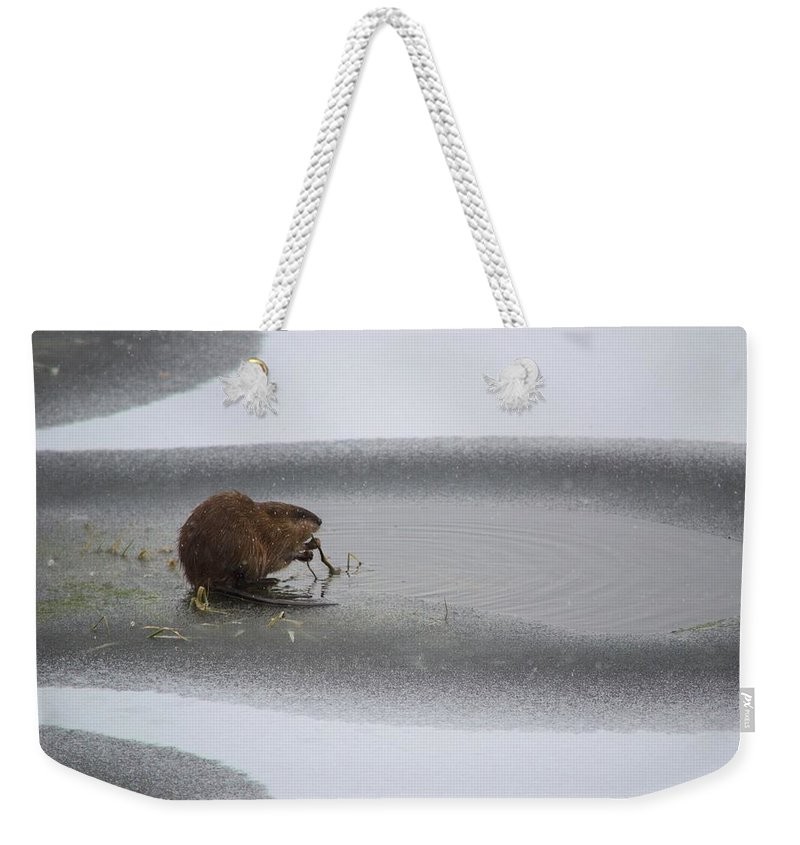 Animal Weekender Tote Bag featuring the photograph Muskrat Meal On Ice by Bonfire Photography