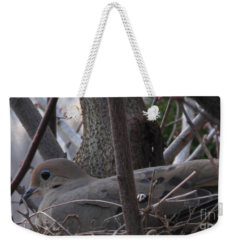 Morning Dove Nest Images North American Birds Peaceful Creatures Cute Animals Wildlife Habitat Song Birds Gray Birds Blue Eyed Birds Mother Bird Female Mourning Dove Stat Bird Species Dove Prints Song Dove Graceful Birds Angelic Animals Harmless Woodland Forest Beings Wild Things Weekender Tote Bag featuring the photograph Nesting Morning Dove by Joshua Bales