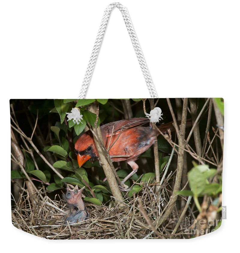 Northern Cardinal Weekender Tote Bag featuring the photograph Northern Cardinal At Nest by Anthony Mercieca