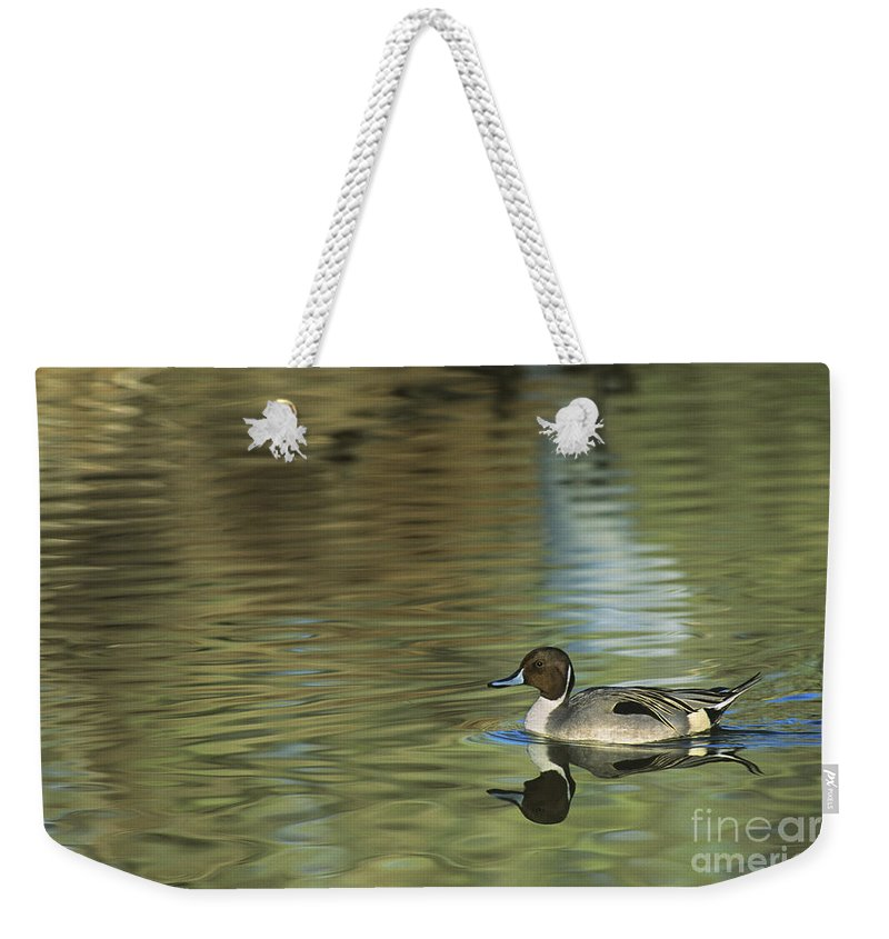 North America Weekender Tote Bag featuring the photograph Northern Pintail In A Quiet Pond California Wildlife by Dave Welling