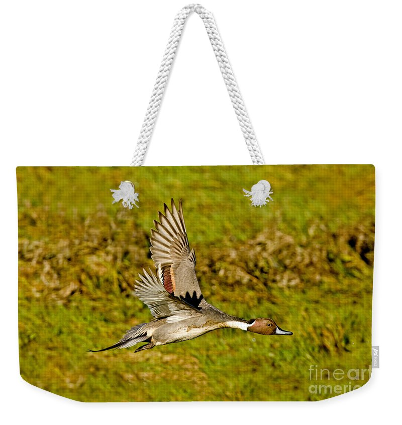 Nature Weekender Tote Bag featuring the photograph Northern Pintail In Flight by Anthony Mercieca