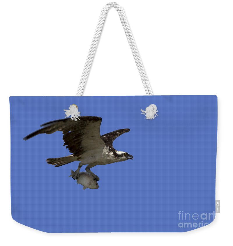 Osprey Weekender Tote Bag featuring the photograph Osprey In Flight by Meg Rousher