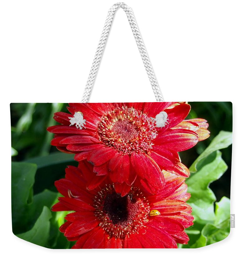 Nature Weekender Tote Bag featuring the photograph Pair Of Red Gerber Daisy Flowers With Ladybug by Amy McDaniel