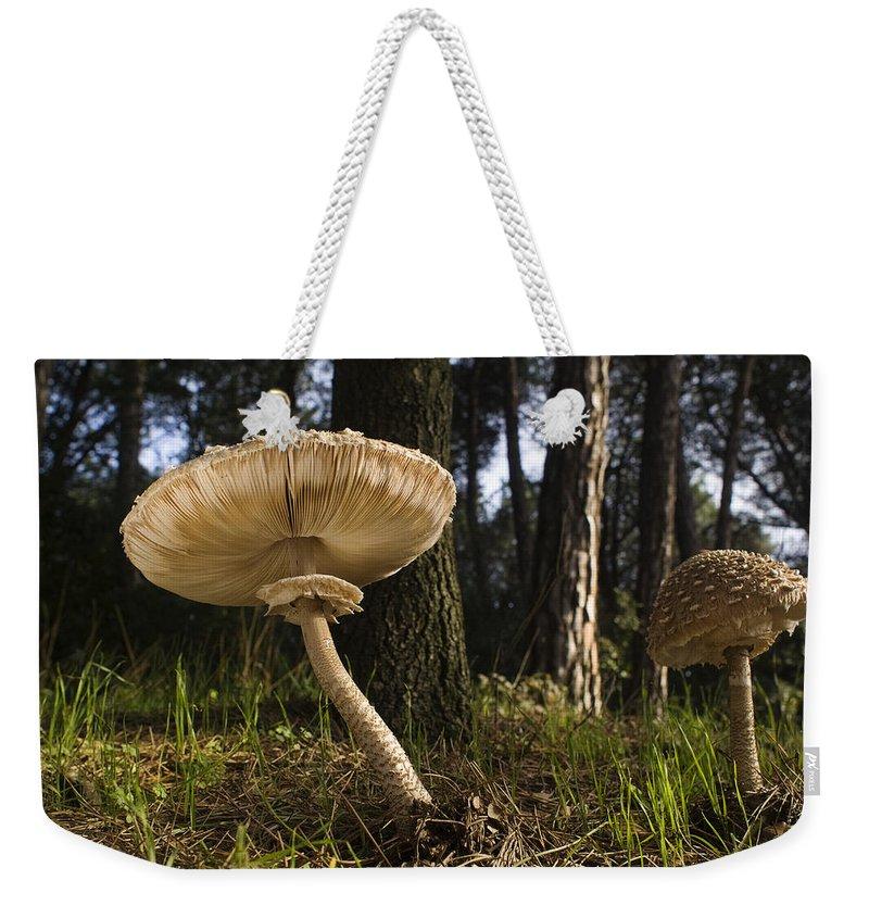 Feb0514 Weekender Tote Bag featuring the photograph Parasol Mushrooms Pair In Forest Spain by Albert Lleal