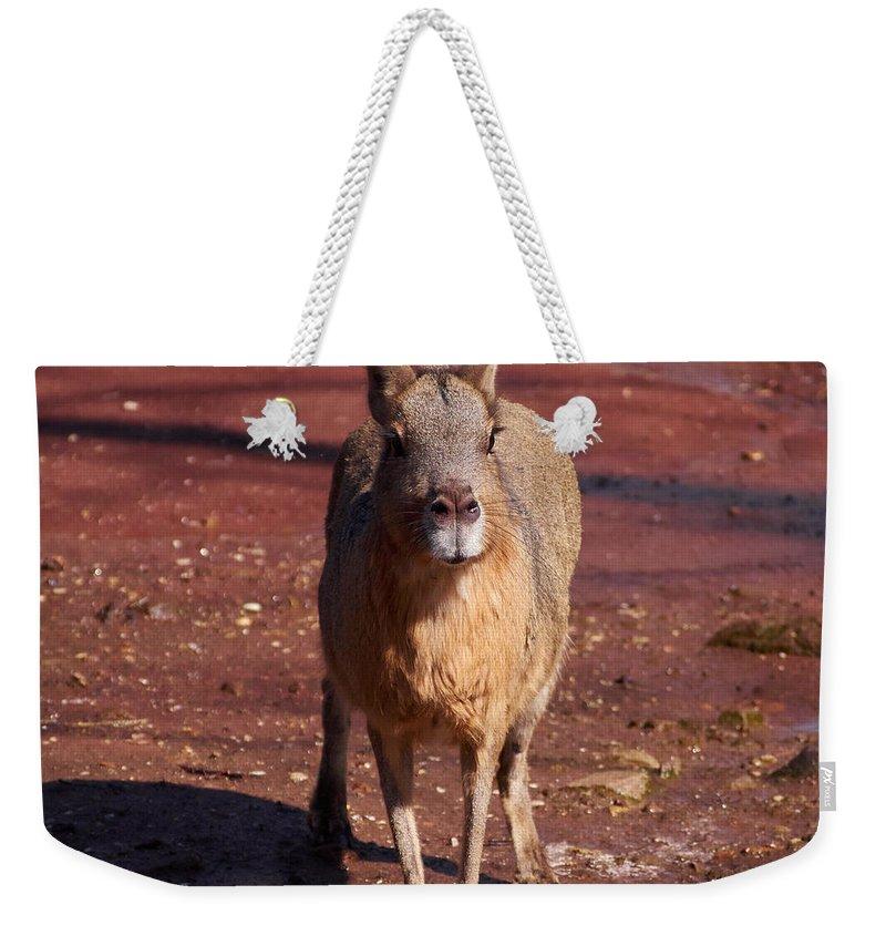 2013. Weekender Tote Bag featuring the photograph Patagonian Mara by Jouko Lehto
