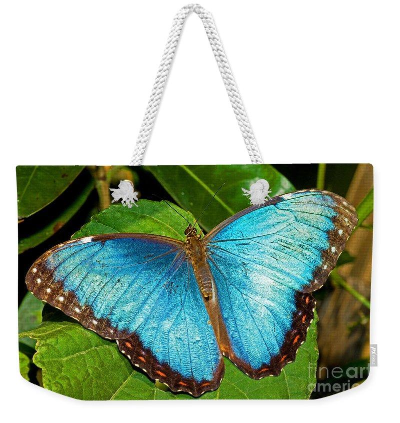 Nature Weekender Tote Bag featuring the photograph Peleides Blue Morpho by Millard H. Sharp