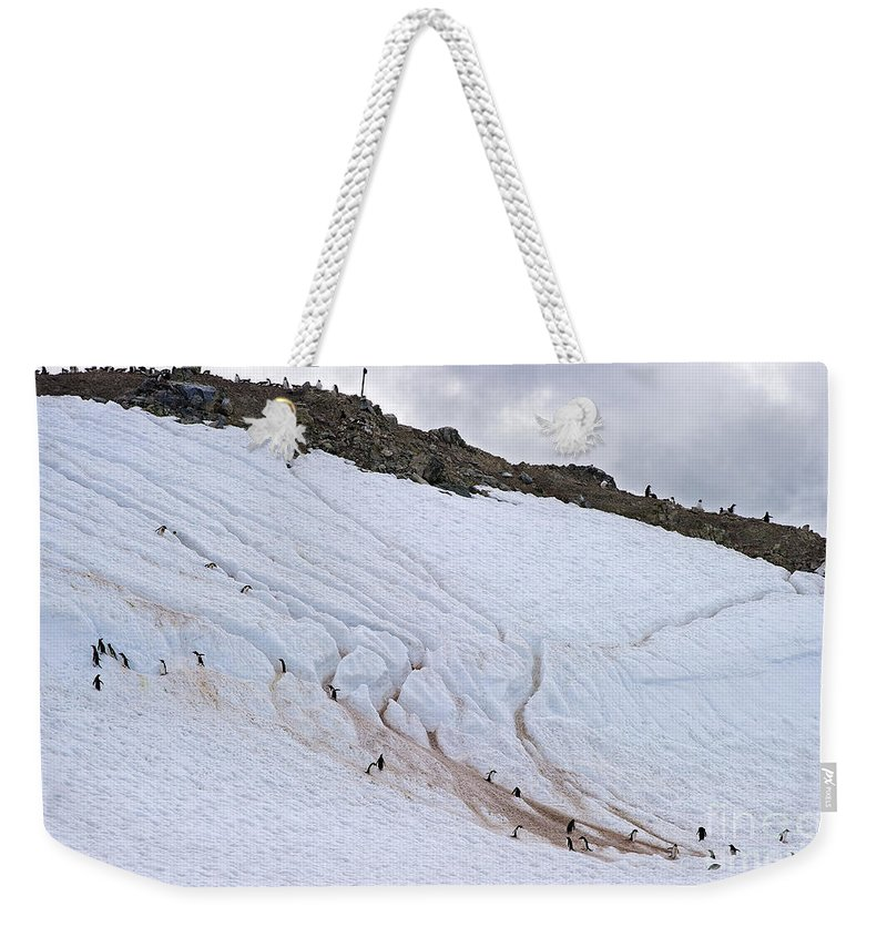 Festblues Weekender Tote Bag featuring the photograph Penguin Highways... by Nina Stavlund