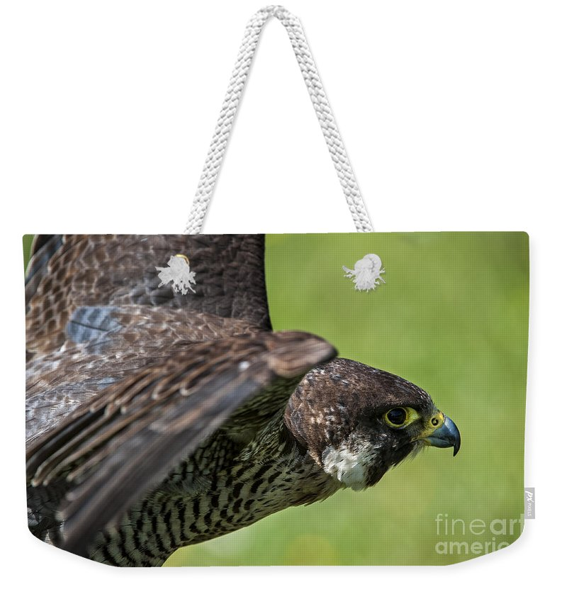 Peregrine Falcon Weekender Tote Bag featuring the photograph Peregrine Falcon 4 by Arterra Picture Library