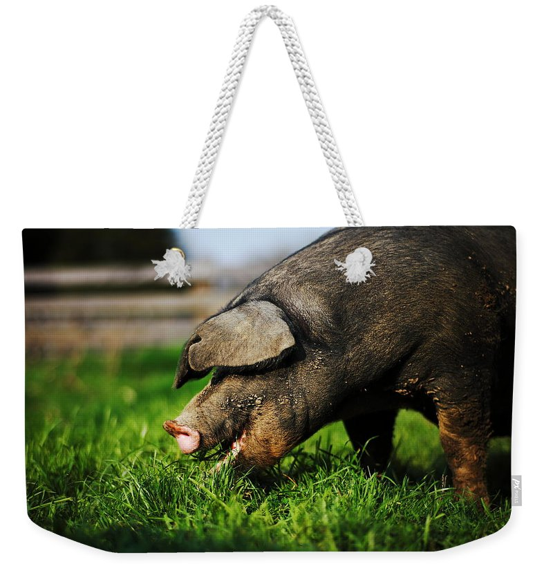 Pig Weekender Tote Bag featuring the photograph Pig Eating by Jimss
