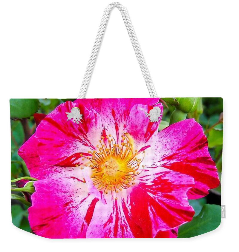Pink And Red Striped Rose Weekender Tote Bag featuring the photograph Pink And Red Striped Rose by Cynthia Woods