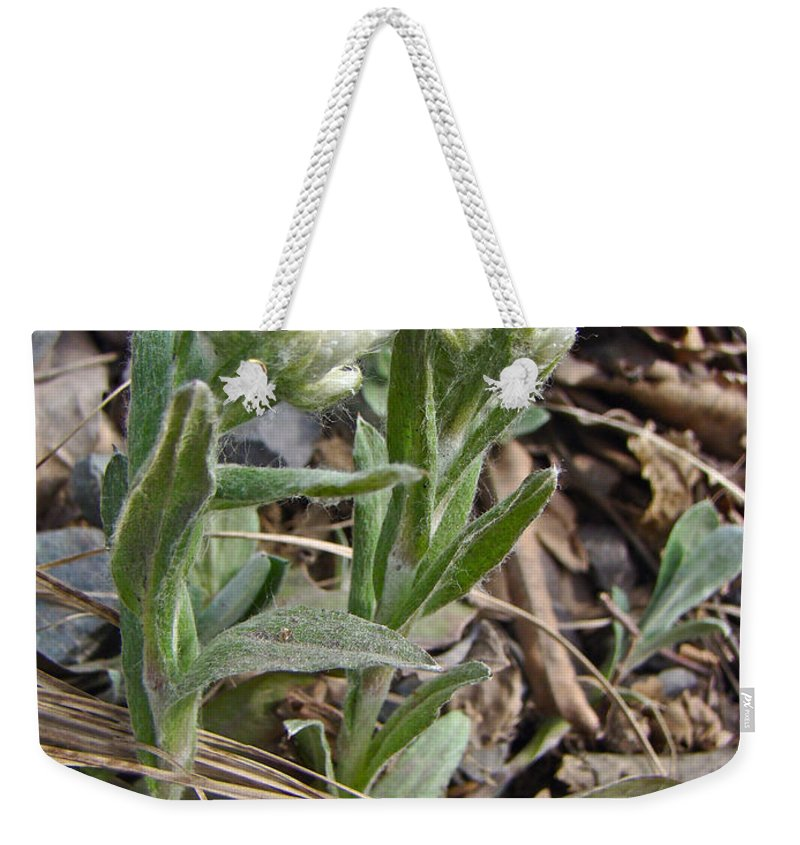 plantain Leaved Pussytoes Weekender Tote Bag featuring the photograph Plantain-leaved Pussytoes Wildflowers - Antennaria Plantaginifolia by Mother Nature
