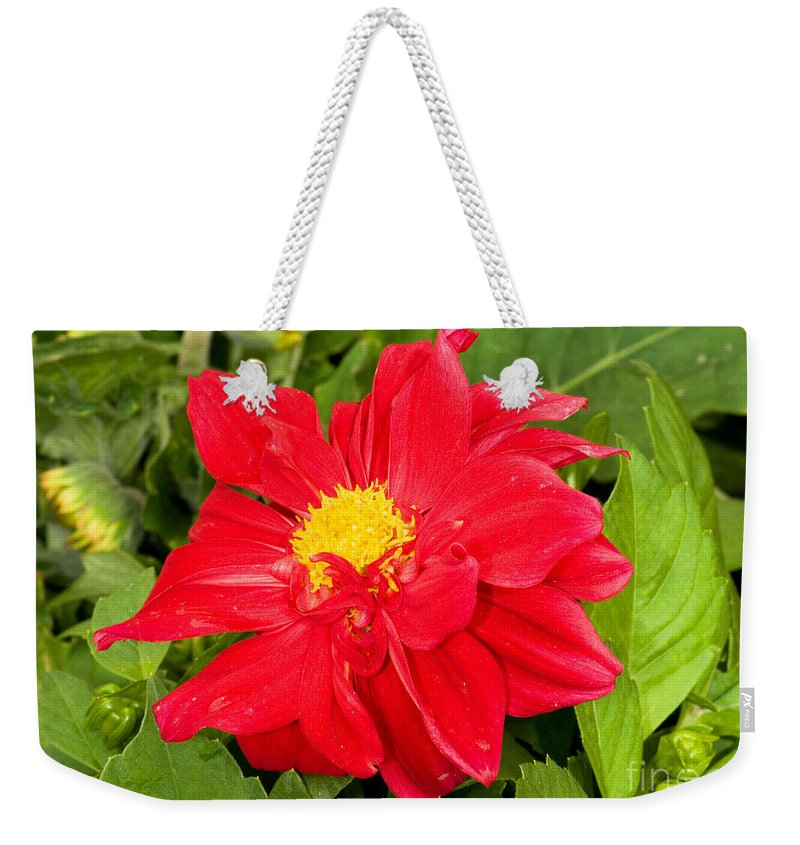 Nature Weekender Tote Bag featuring the photograph Red Dahlia Flower by Millard H. Sharp