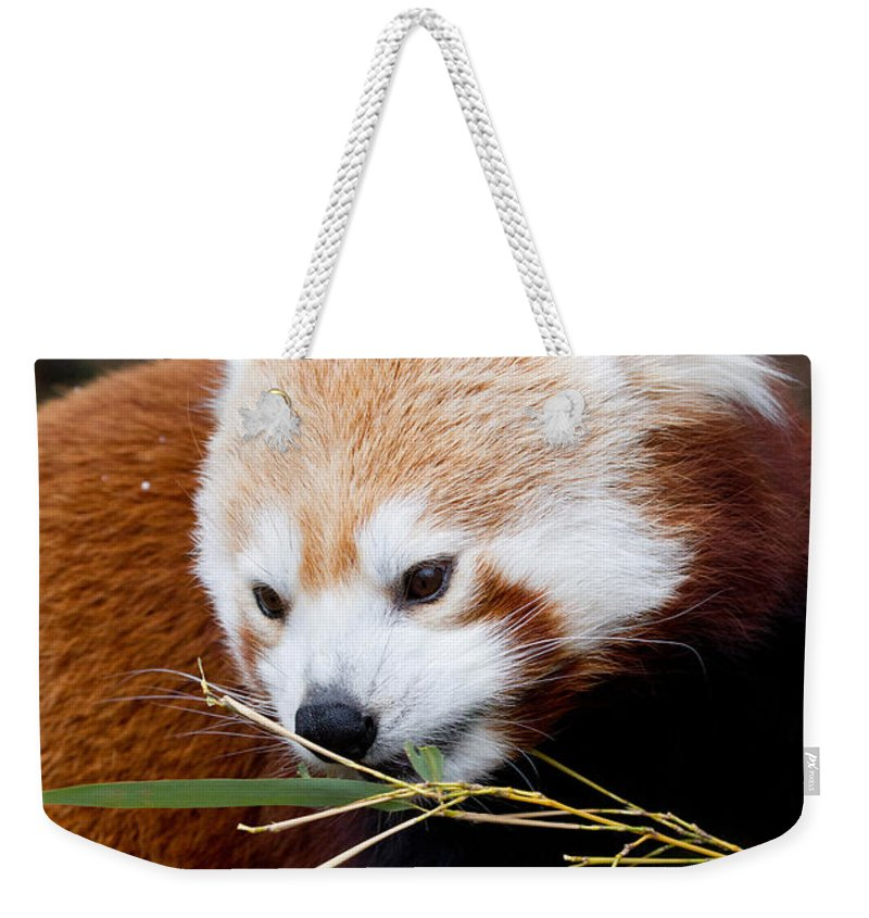 Animal Weekender Tote Bag featuring the photograph Red Panda Ailurus Fulgens In Captivity by David Kenny