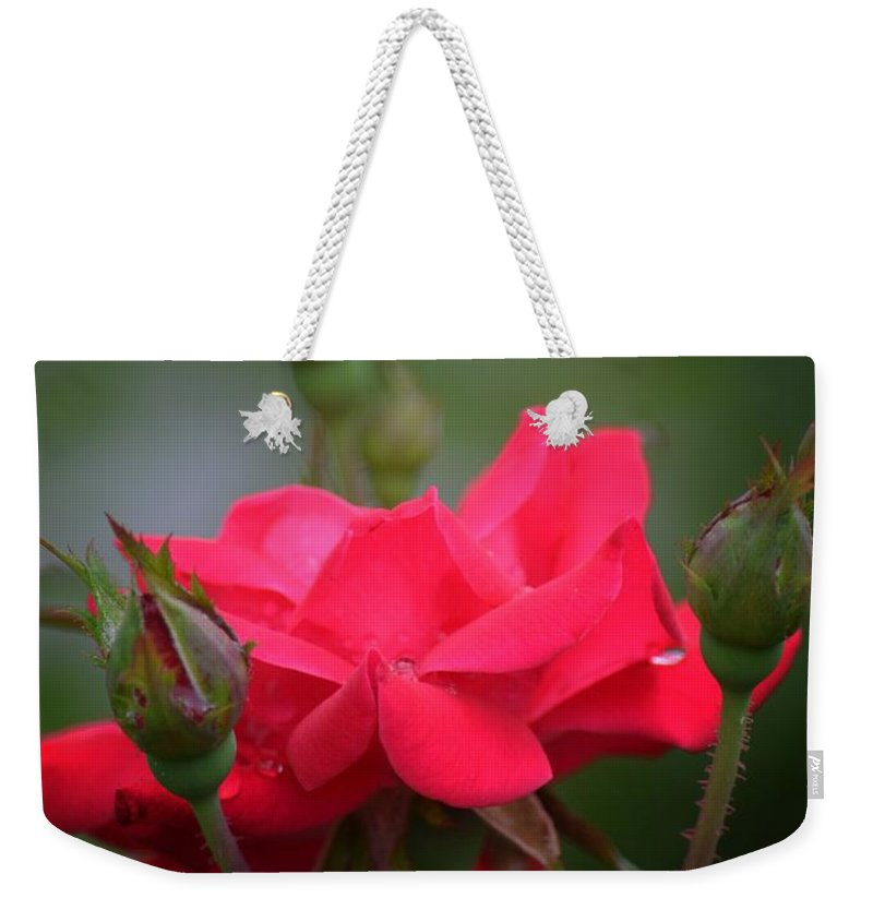Red Rose 14-1 Weekender Tote Bag featuring the photograph Red Rose 14-1 by Maria Urso