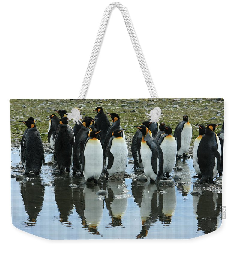 King Penguins Weekender Tote Bag featuring the photograph Reflecting King Penguins by Amanda Stadther