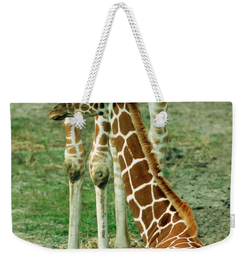 Nature Weekender Tote Bag featuring the photograph Reticulated Giraffe And Calf by Millard H. Sharp