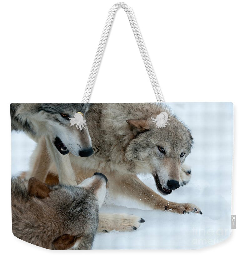 Wolves Weekender Tote Bag featuring the photograph Right Of Passage by Sandra Bronstein