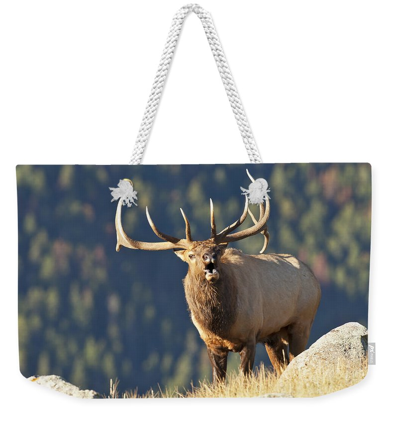 Rocky Mountain Bull Elk Bugling Weekender Tote Bag featuring the photograph Rocky Mountain Bull Elk Bugling by Gary Langley