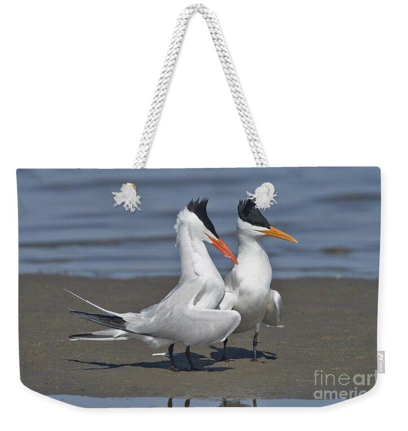 Royal Tern Weekender Tote Bag featuring the photograph Royal Terns Dancing by Anthony Mercieca