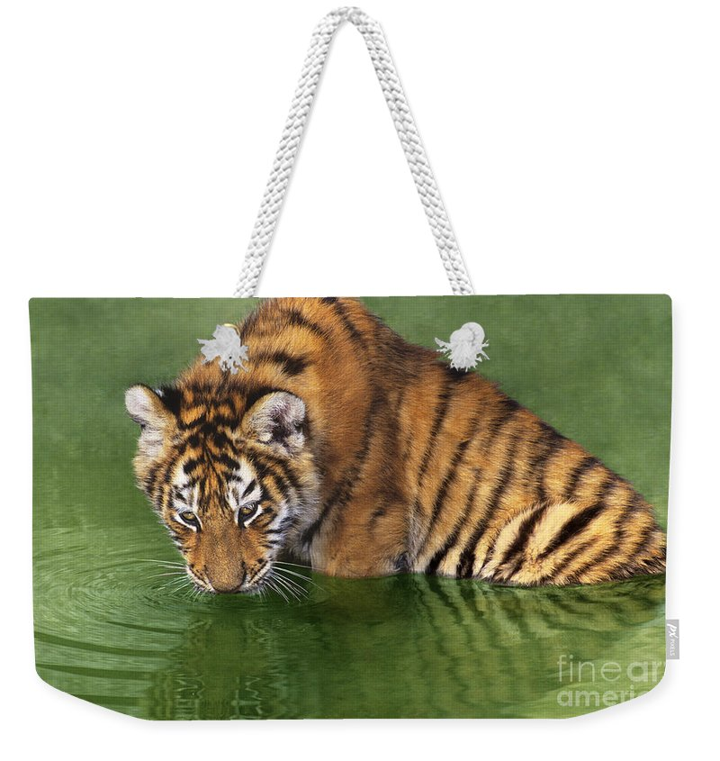 Siberian Tiger Weekender Tote Bag featuring the photograph Siberian Tiger Cub In Pond Endangered Species Wildlife Rescue by Dave Welling