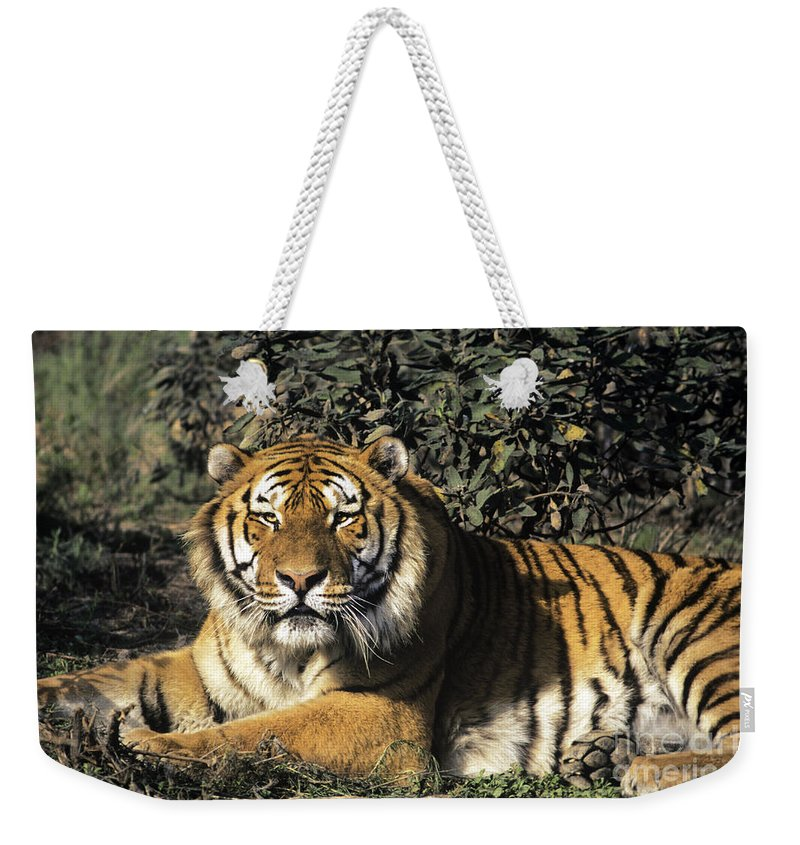 Siberina Tiger Weekender Tote Bag featuring the photograph Siberian Tiger Endangered Species Wildlife Rescue by Dave Welling
