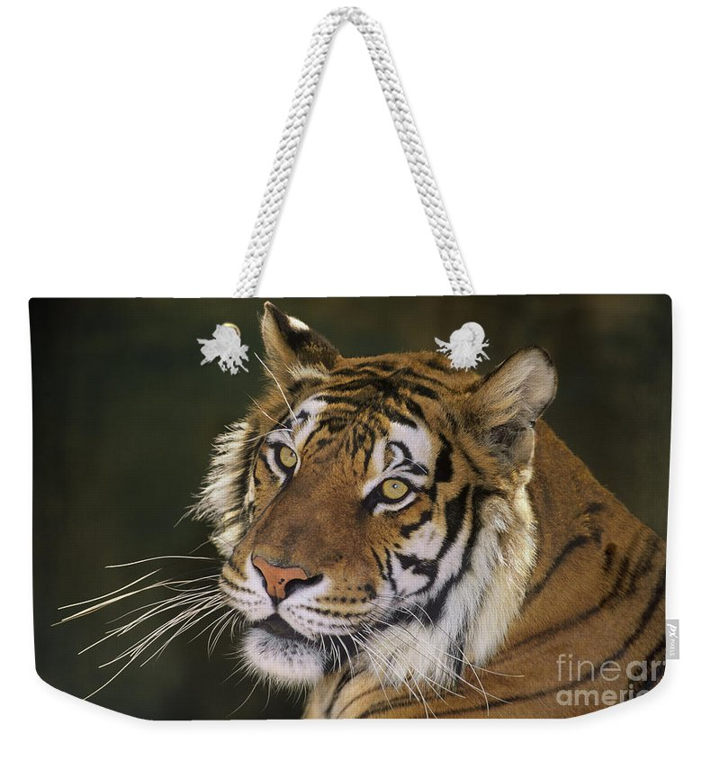 Siberian Tiger Weekender Tote Bag featuring the photograph Siberian Tiger Portrait Endangered Species Wildlife Rescue by Dave Welling