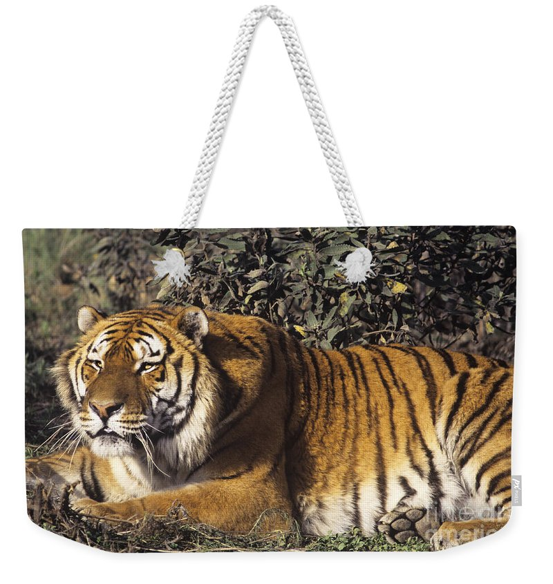 Siberian Tiger Weekender Tote Bag featuring the photograph Siberian Tiger Stalking Endangered Species Wildlife Rescue by Dave Welling