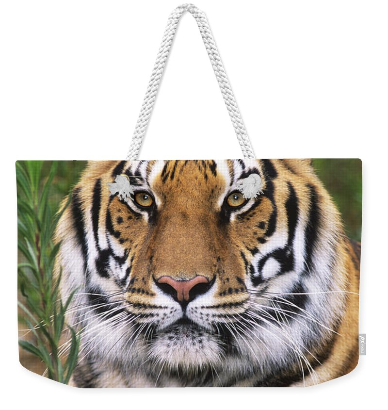 Siberian Tiger Weekender Tote Bag featuring the photograph Siberian Tiger Staring Endangered Species Wildlife Rescue by Dave Welling