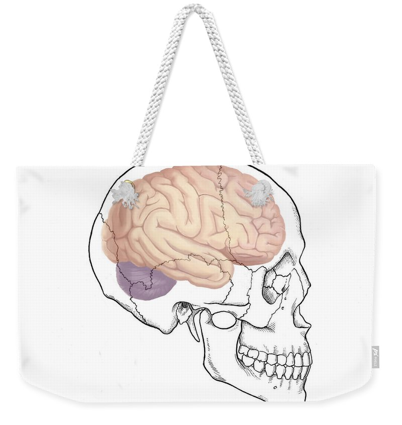 Science Weekender Tote Bag featuring the photograph Skull And Brain by Spencer Sutton