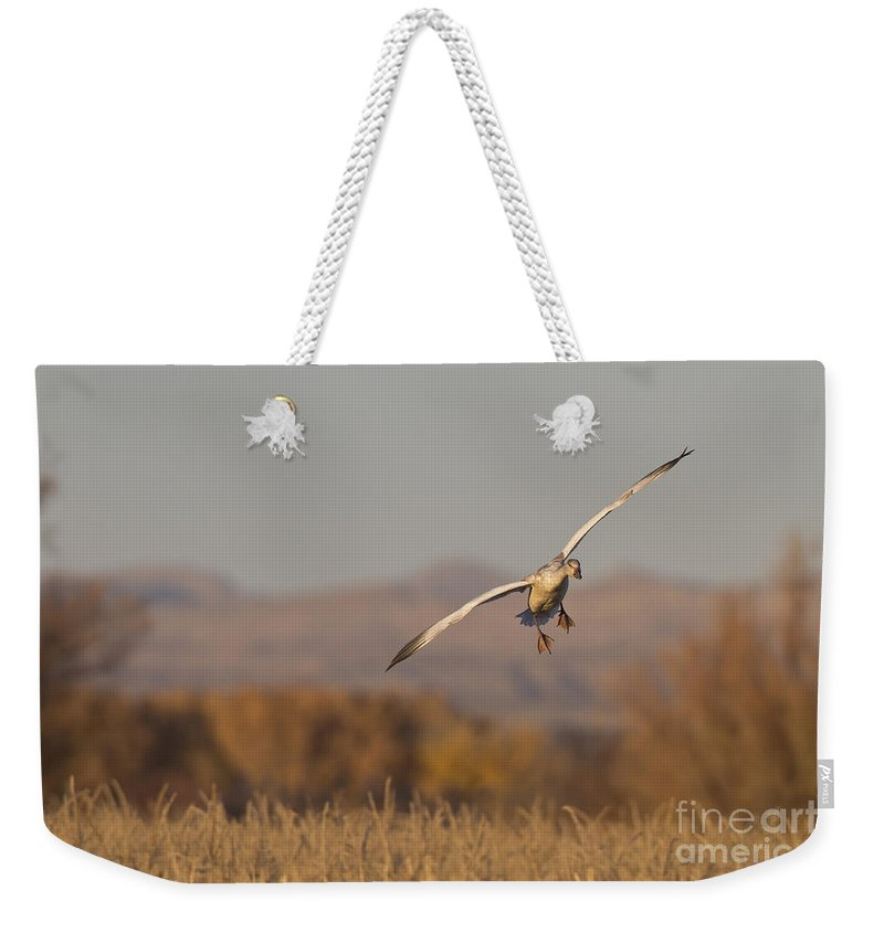 Snow Goose Weekender Tote Bag featuring the photograph Snow Goose At Last Light by Bryan Keil