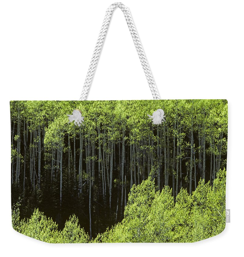 Nature Weekender Tote Bag featuring the photograph Stand Of Birch Trees New Growth Spring Rich Green Leaves by Jim Corwin
