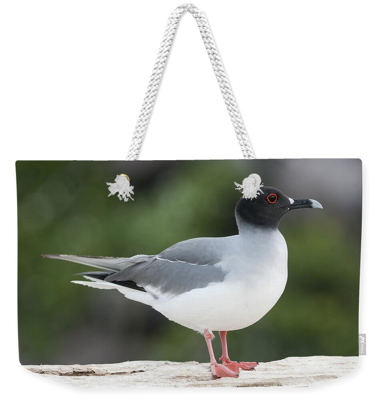 531756 Weekender Tote Bag featuring the photograph Swallow-tailed Gull Galapagos by Tui De Roy