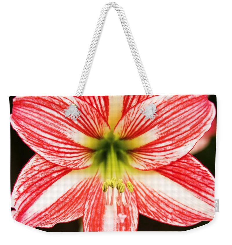 Amaryyllis Weekender Tote Bag featuring the photograph Sweet Lillian Amaryllis by Rich Franco