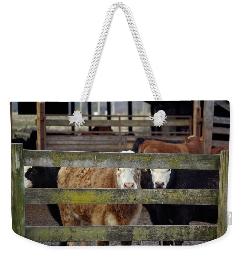 Cow Weekender Tote Bag featuring the photograph The Watchers by Cindy Johnston