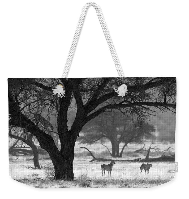 Cheetah Weekender Tote Bag featuring the photograph Three Cheetahs by Max Waugh