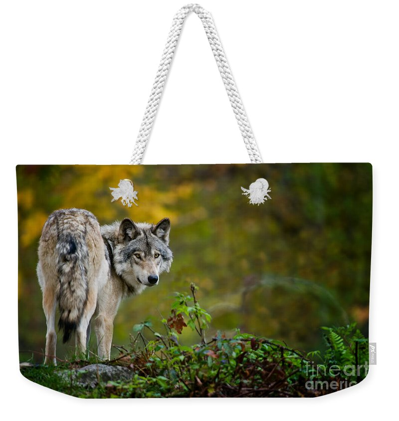 Timber Wolf Weekender Tote Bag featuring the photograph Timber Wolf Pictures 1627 by World Wildlife Photography