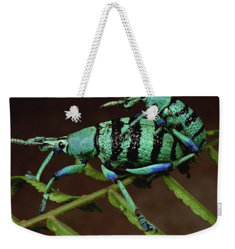 Feb0514 Weekender Tote Bag featuring the photograph True Weevil Couple Mating Papua New by Mark Moffett